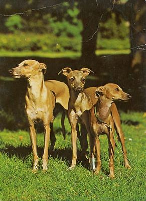 Old Photo Oversize Postcard PC 3 Italian Greyhound Dogs Germany c1960 Vogeler
