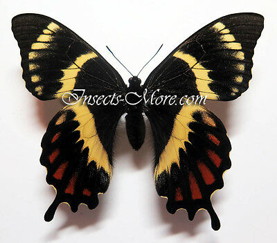 Papilio garamas UNIQUE and OUTSTANDING ABERRATION!!!