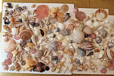 "HUGE LOT of 200+  SEASHELLS SEA SHELLS COLLECTION   Most 5"" to 2""  FREE SHIPPING"