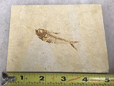 (#2) Knightia Eocaena Fish Fossil Green River Formation Wyoming Eocene Age