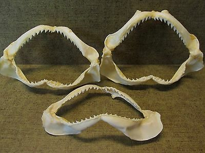 "Lot of 3 Real 4.25"" +/- SPOT-TAIL SHARK JAWS teeth Carcharhinus sorrah in USA"