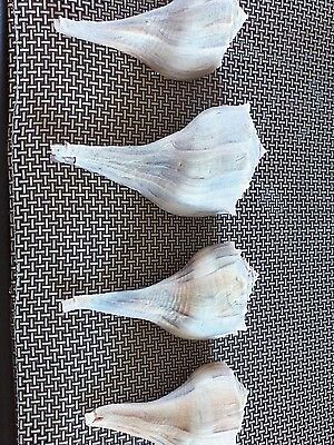 "conch shells lot of 4 seashells 5"" to 6 1/2"""