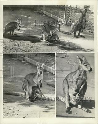 1941 Press Photo Baby Wallaby returns to safety of moms pouch, San Francisco Zoo