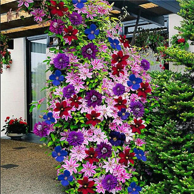 50 Seeds 24 Colours Beautiful Clematis Flower Clematis Climbing Plants Seeds