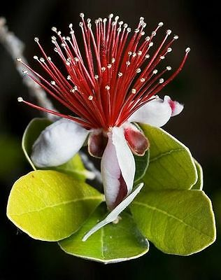 Acca sellowiana (Feijoa) Pineapple guava (Sent In 9cm pot)