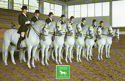 postcard of LIPPIZANER LIPICA HORSES