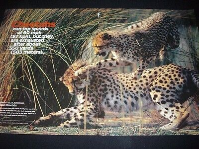 CHEETAH cats in magazine ads/clipping lot ** pictures