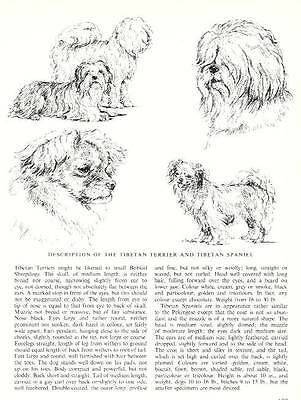 Tibetan Terrier Sketch - 1963 Vintage Dog Print - Matted