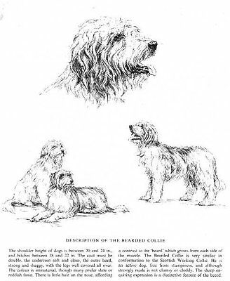 Bearded Collie Sketch - 1963 Vintage Dog Print - Matted