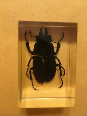 Real Black Beetle Cased In Lucite