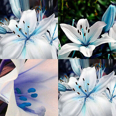 50pc Blue Rare Lily Bulbs Seeds Planting Lilium Perfume Flower Home Decor BG48