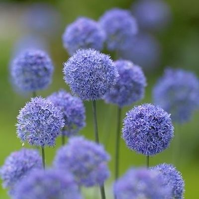 30 Blue Allium Bulbs-Caeruleum Azureum-Perennial Spring Flower Bulbs