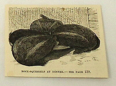 1884 small magazine engraving ~  ROCK SQUIRRELS at dinner