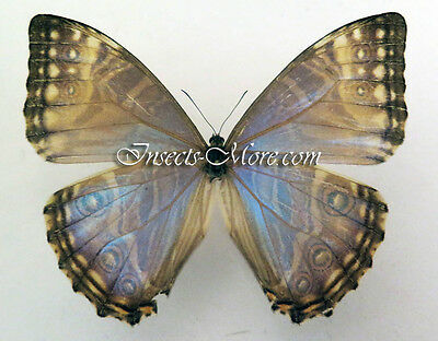 Morpho rhodopteron nevadensis female *Colombia*