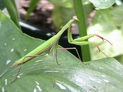 1 Praying Mantis Egg Case -Greenhouse/Garden Insect Pest Control