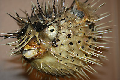 "(1),8 - 10""+ Porcupine Fish,beach Decor,dried Preserved,natural,nautical Decor"