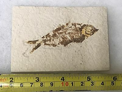 (#39) Knightia Eocaena Fish Fossil Green River Formation Wyoming Eocene Age