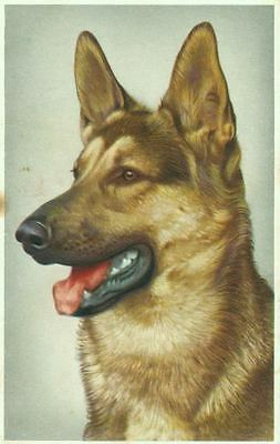 Vintage Postcard PC German Shepherd Dog Belgium 1955