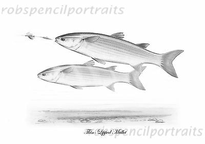 THIN LIPPED MULLET On Spinner Harbour Ragworm Drawing Print Sea Fishing Art