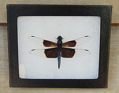 E376) Real Widow Skimmer Dragonfly 4X5 framed display butterfly insect taxidermy