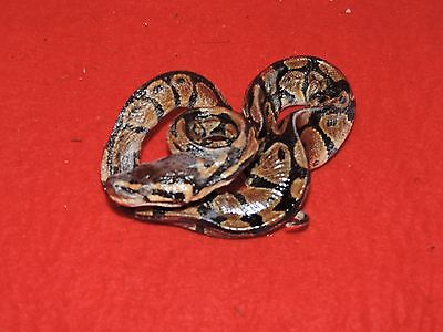 Freeze dried Taxidermy Snake Reptile Biology Herpatology