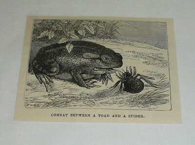small 1878 magazine engraving ~ COMBAT BETWEEN A TOAD AND A SPIDER