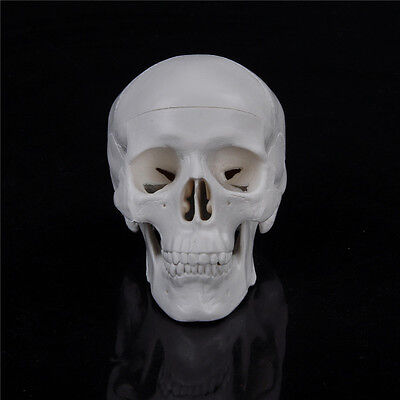 Teaching Mini Skull Human Anatomical Anatomy Head Medical Model Convenient WF