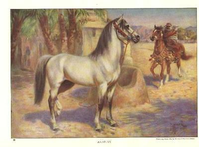 Arabian - 1923 Vintage Horse Print - Matted