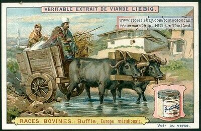 Water Buffalo Cart In Southern Europe c1896 Trade Ad Card