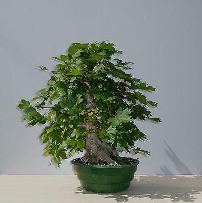 Acer campestre FIELD MAPLE  outdoor indoor bonsai trees seeds Free Dispatch