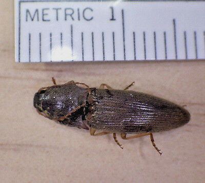 Very Nice Unidentified Brown Click Beetle Elateridae Coleoptera SE Texas F21
