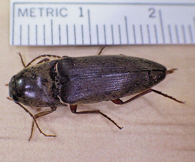 Very Nice Unidentified Brown Click Beetle Elateridae Coleoptera SE Texas F129
