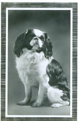 Old Personal Photo Postcard PC Japanese Chin Dog Amag Germany 1934