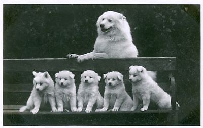 RARE Old Photo Postcard PC Great Pyrenees Mom & 5 Puppy Dogs Netherlands 1924