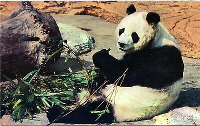 London Zoo - Giant Panda - Postcard View