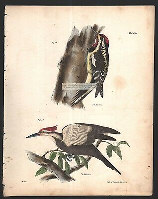 Woodpeckers - Yellow Bellied and Crested Original 1845 DeKay H/C  Bird Print