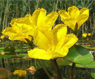 3 x  Nymphoides peltata Yellow Floatingheart Pond water Plants winterhardy