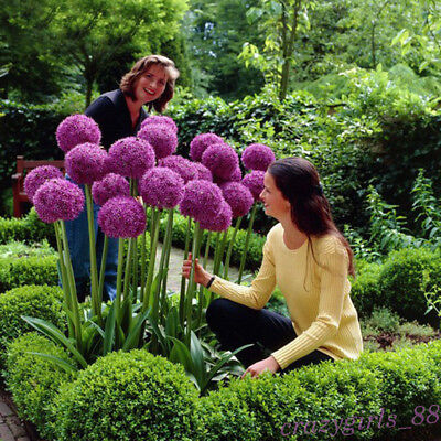 10Pcs Purple Giant Allium Giganteum Flower Black Seeds Home Garden Plant Decor