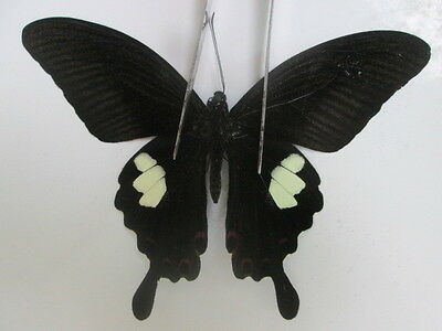 PA634. Unmounted Butterflies: Papilio sp. South Vietnam