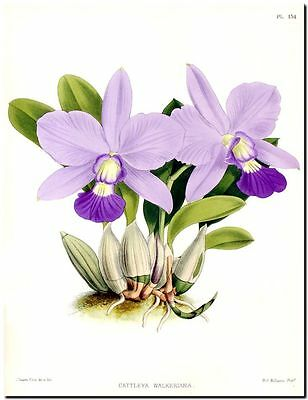 "Vintage Botanical Art CANVAS PRINT~ Pink Purple Orchid 24""X18"""