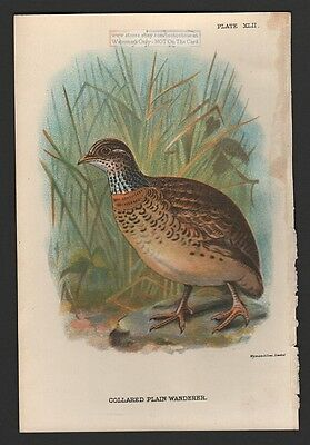 Aiustralian Collared Plains Wanderer  Original 1896 Bird Print