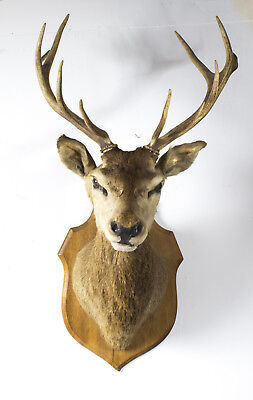 A Scottish Mounted Taxidermy Stag  Early 20 century