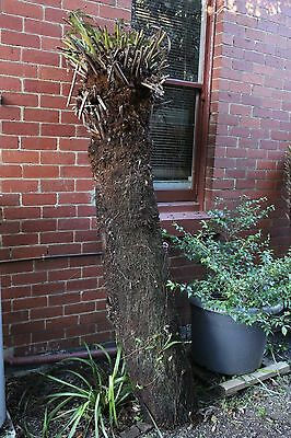 TREE FERN 2.3 METER( 8ft) TRUNK. CUT READY TO GO. ARMADALE MELBOURNE