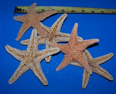 "12 - 4""+ Sugar Starfish Dried Star fish Shell Wedding Craft Decor Item # ssf4-12"