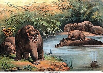 1880S Zoological Plate Hippo Animal Hippopotamus Family At River New Print 1129