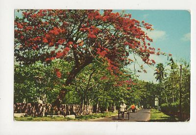 Flowering Flambouyant Colombo Road Ceylon Postcard 254b