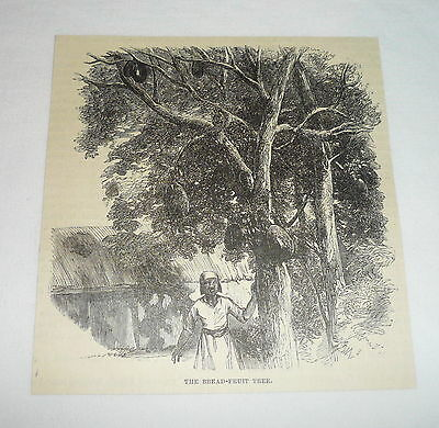 1877 magazine engraving ~ THE BREAD-FRUIT TREE