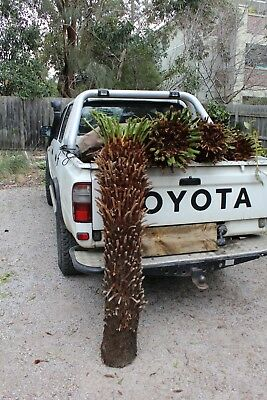 TREE FERN 1.3 METER( 4ft) TRUNK. CUT READY TO GO. ARMADALE MELBOURNE