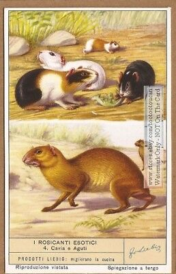 Guinea Pig And Aguti NICE 60+  Y/O Trade Ad Card