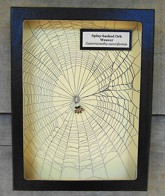 E735) Real Spiny-backed Orb Spider on actual Web framed shadowbox taxidermy USA